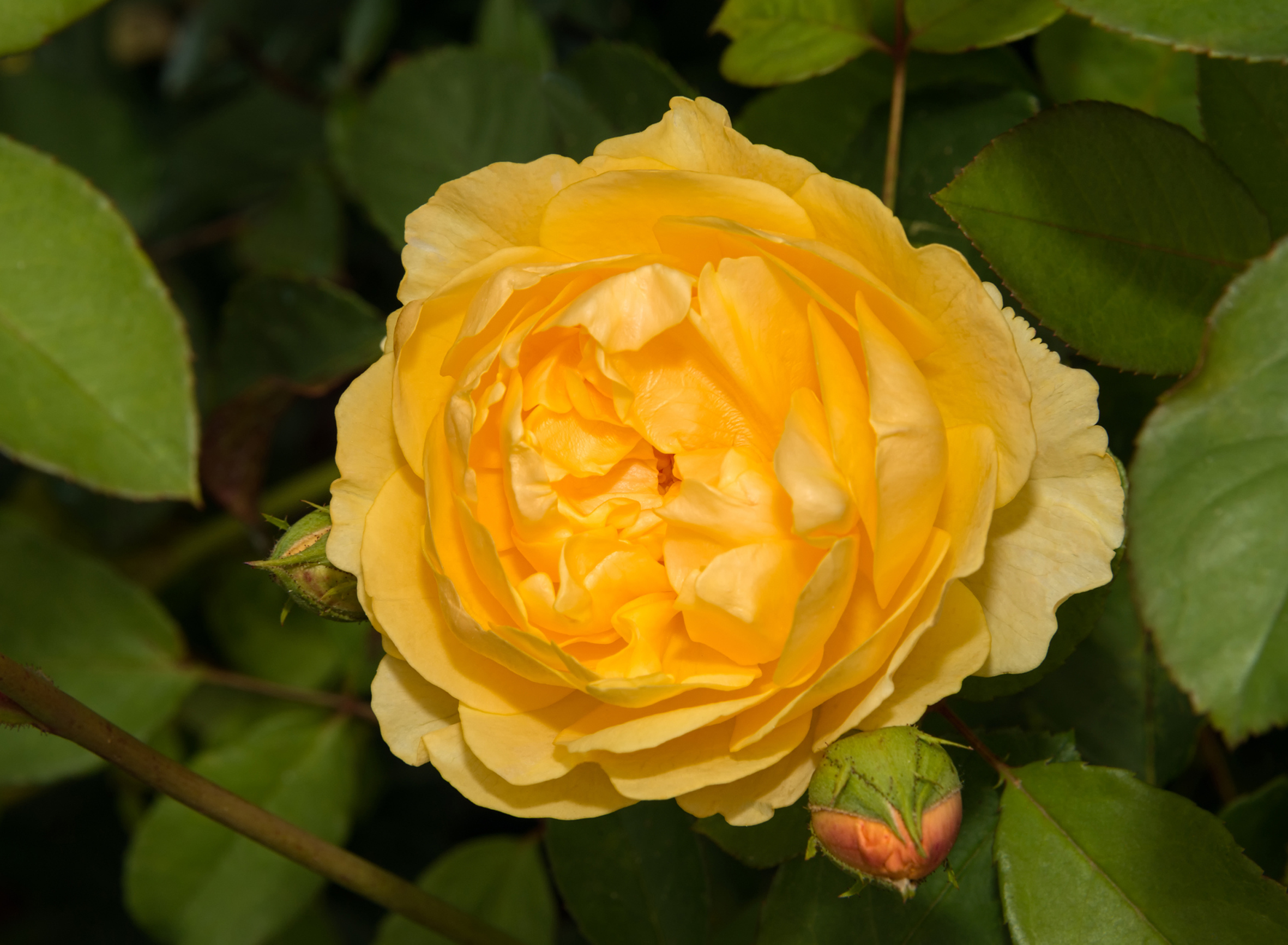 Rose: Edelrose 'Candlelight'