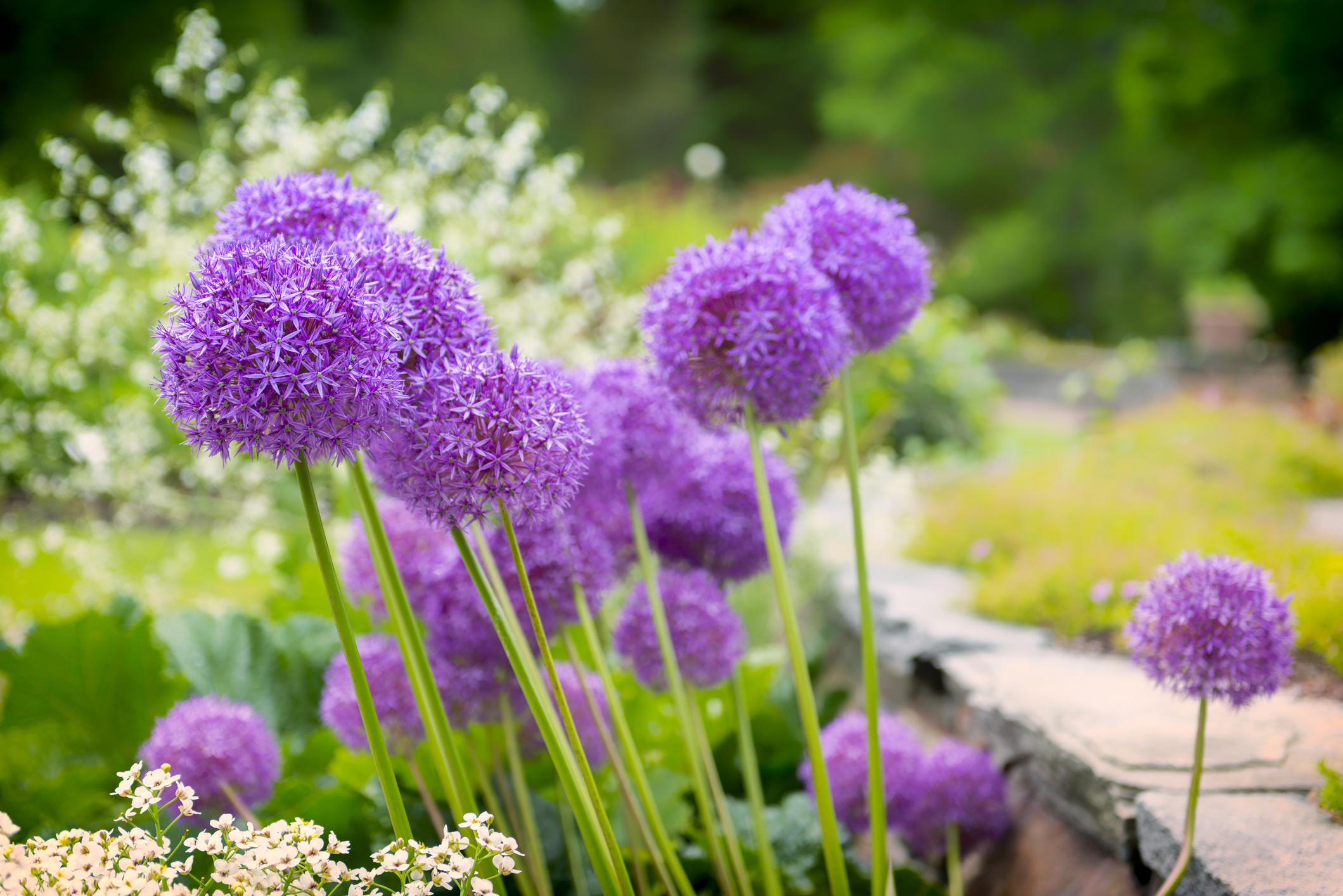 ALLIUM: Riesen-Zierlauch 'His Excellence'